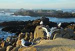 Gulls at Asilomar State Beach
