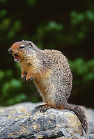 35-M02B-SC-36   COLUMBIAN GROUND SQUIRREL (Citellus columbianus), alarm call while standing on rock, Glacier National Park, Montana, USA                      .