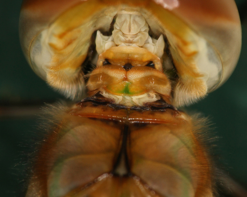 "This is the backside of a dragonfly head. It's a newly emerged specimen, with its head cocked forward revealing the ""demon"" within."