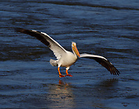 American white pelican with feet down for landing