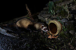 A wild European Polecat (Mustela putorius)visit's a small holding in the Berwyn's, north Wales and is photographed using a DSLR camera trap.