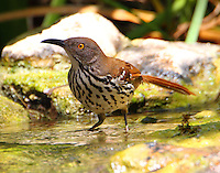 Long-billed thrasher bathing