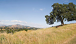 A panoramic of a lone valley oak stands sentinel overlooking Mount Diablo in the distance. Golden rolling hills spell summertime.