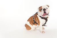 Champ mascot bulldog--studio white background.<br />