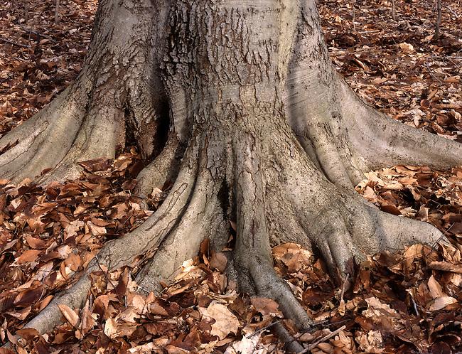 Warren Woods State Park has huge native American Beech trees in Berrien County in southwest Michigan.
