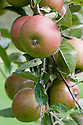 Apple 'Winston', mid September. An English dessert apple bred by William Pope at Welford Park, Berkshire in 1920, and first marketed in 1935 as 'Winter King'. Renamed 'Winston' in 1944.