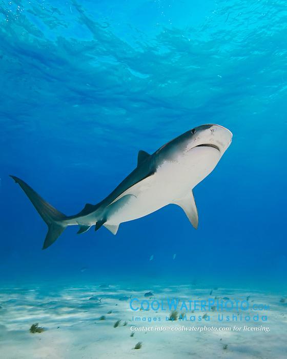 Tiger Shark, Galeocerdo cuvier, Lemon Sharks, Negaprion brevirostris, and scuba divers, West End, Grand Bahama, Atlantic Ocean