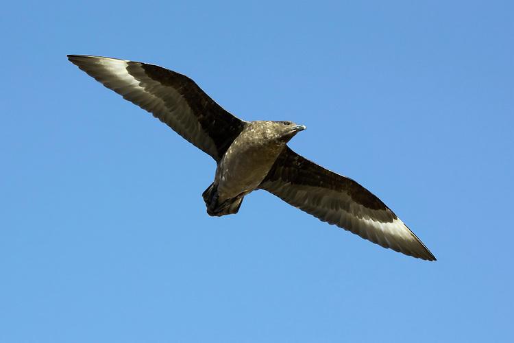 Southern Skua - Stercorarius antarcticus