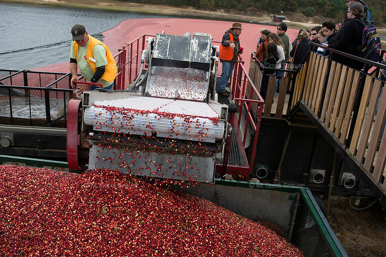 Trucks are loaded with cranberries after harvest from bogs at the AD Makepeace Company's 10th Annual Cranberry Harvest Celebration in Wareham, Massachusetts, USA. AD Makepeace is the world's largest producer of cranberries. These cranberries, wet harvested with varied colors, are destined for processing into juice, flavoring, canned goods and other processed foods.