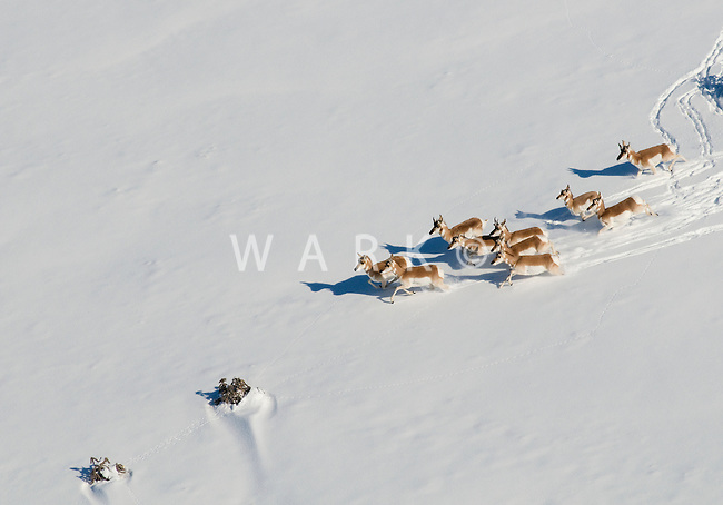 Angelope running in snow
