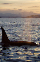 Adult male killer whale surfacing to breathe at sunset