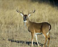 Whitetail Buck, Lampasas County, Texas
