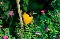 561920015 a wild male northern baltimore oriole icterus glabula glabula perches in flowering sage on south padre island texas