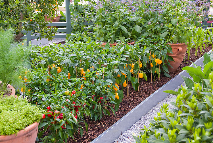 Rows of vegetables in raised beds in upscale backyard, herbs, fruit. Yellow bell peppers sweet peppers, red hot pepper plants, in rows, mulched, tidy and neat edible gardening