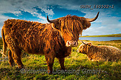 Tom Mackie, ANIMALS, REALISTISCHE TIERE, ANIMALES REALISTICOS, wildlife,cow.highland, photos+++++,GBTM160502-1,#a#, EVERYDAY