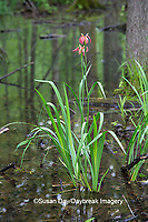 63895-15017 Copper Iris (Iris fulva) in swamp along Snake Road LaRue Pine Hills Otter Pond Natural Area Shawnee National Forest Union Co. IL