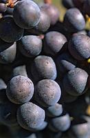 Europe/France/Aquitaine/33/Gironde/Saint-Emilion: Détail grappe dans le vignoble (AOC)