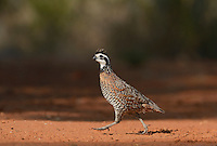 Northern Bobwhite (Colinus virginianus), male running, Rio Grande Valley, South Texas, Texas, USA