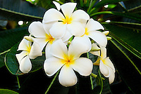 Beautiful plumeria blossoms