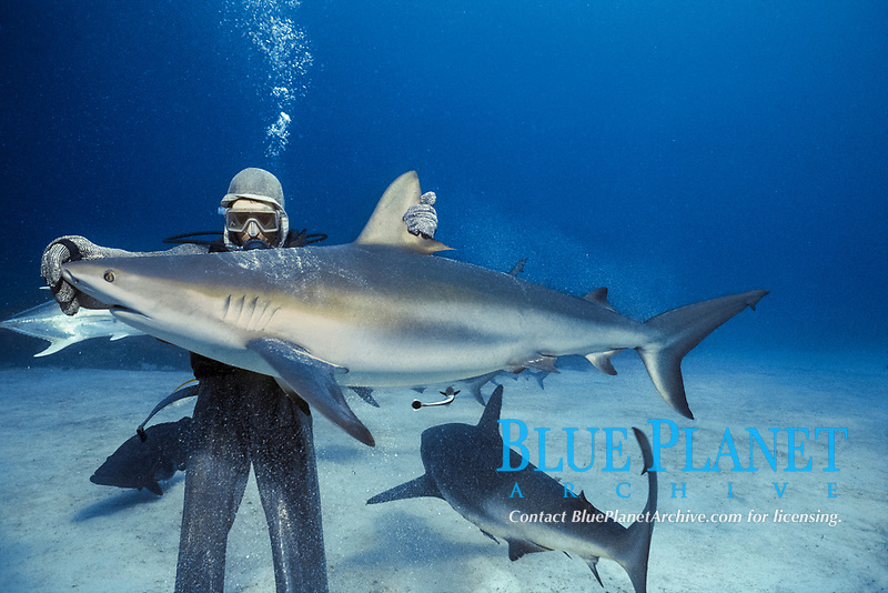 Caribbean Reef Shark (Carcharhinus perezii) in hypnotic trance being lifted by shark handler, Bahamas - Caribbean Sea.