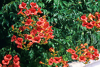Klettertrompete, Kletter-Trompete, Trompetenblume, Trompeten-Blume, Trompetenwinde, Trompetenwein, Trompeten-Winde, Campsis spec., Trumpet Vine