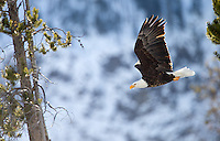 A bald eagle takes off above the Madison River.