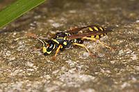 Gallische Feldwespe, Französische Feldwespe, Polistes dominulus, Polistes dominula, Polistes gallicus, Papierwespe, Vespinae, Faltenwespe, Vespidae, paper wasp