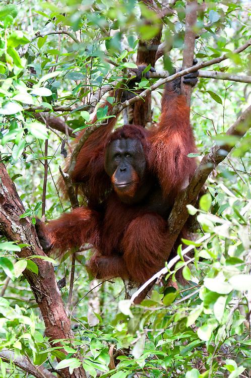 Orangutan (Pongo pygmaeus) - Tanjung Puting National Park, Central Kalimantan Indonesia.
