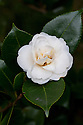 Camellia japonica 'Moshe Dayan', mid March.