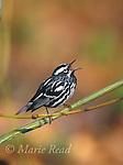 Black-and-white Warbler (Mniotilta varia) male singing in spring, New York, USA