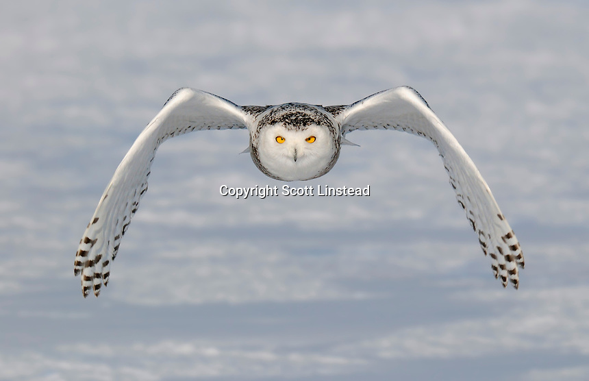 A juvenile snowy owl flies directly towards the photographer