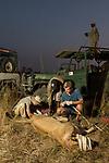 African Lion (Panthera leo) biologists, Jonah Gula, Milan Vinks, and veterinarian, Kambwiri Banda, taking measurements during collaring of six year old female lion while park scout, Charles Kalatambala, keeps watch for remaining pride members, Kafue National Park, Zambia