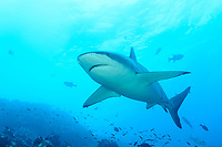 Carcharhinus galapagensis, Galapagoshai, Galapagos shark, Insel Cocos, Costa Rica, Pazifik, Pazifischer Ozean, Cocos Island, Costa Rica, Pacific Ocean