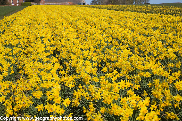 Field of cultivated daffodils, near Happisburgh, Norfolk, Engaldn