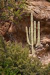 The stately Saquaro cactus