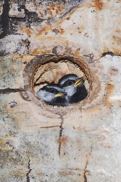Mountain Chickadee, Poecile gambeli,young in nesting cavity in aspen tree, Rocky Mountain National Park, Colorado, USA