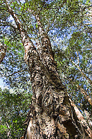 Paperbark Tea-Trees, Mary Creek in Daintree Rainforest, Queensland,  Australia