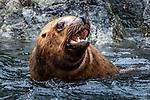 USA, Alaska, Glacier Bay National Park, Steller sea lions