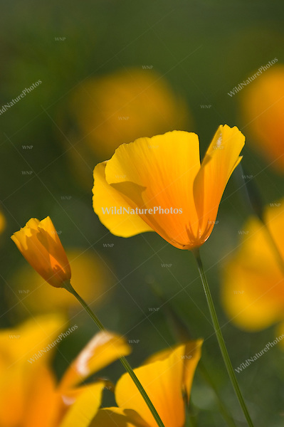 Mexican Goldpoppies, Eschscholzia mexicana; Picacho Peak, Arizona