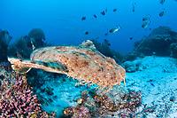 A Tasselled wobbegong, Eucrossorhinus dasypogon, swims over a reef pinnacle searching for a spot to ambush prey. Raja Ampat, Papua, Indonesia, Pacific Ocean