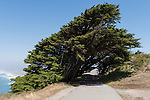 Point Reyes National Seashore, California; Monterey Cypress (Cupressus macrocarpa) trees growing over the road leading to the Point Reyes Lighthouse