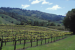 Rows of Grapes at a vineyard in the Anderson Valley, California