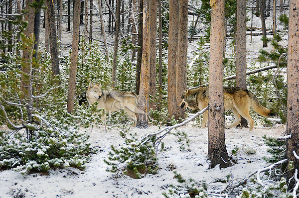 Wild GRAY WOLVES (Canis lupus) hunting in forest on snowy fall morning.  Greater Yellowstone Ecological Area.