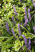 Liriope muscari (AGM) in bloom