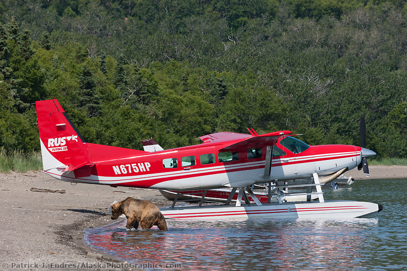 Brown bears swim in Naknek lake by a bush plane on floats, Katmai National Park, southwest, Alaska.
