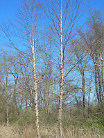 Betula nigra River Birch tree peeling ornamental bark, two trees side by side showing entire tree plant habit, in the wild in Pennsylvania near the Delaware River