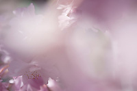 A dreamy photograph of sakura flowers taken through the blurred petals of blossoms closer to the camera.