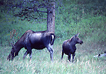 Cow and calf moose in Yellowstone National Park