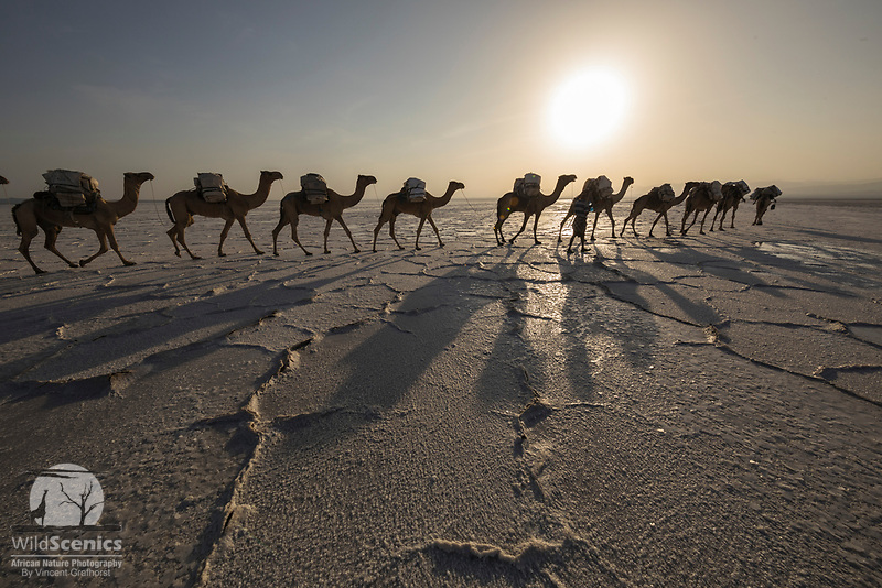 A Camel Caravan transporting salt from Lake Asale in the Danakil Depression, Ethiopia, Africa
