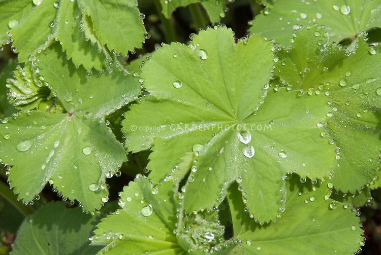 Rain droplets on lady's mantle leaves, Alchemilla mollis 'Select'